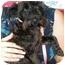 Photo 1 - Schnauzer (Miniature) Mix Dog for adoption in Humble, Texas - Little Black Dog