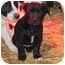 Photo 1 - Pit Bull Terrier/Labrador Retriever Mix Puppy for adoption in Salem, New Hampshire - Cagney