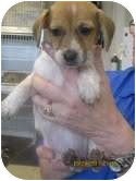 Dachshund Mix Puppy for adoption in Brookline, Massachusetts - Sophie ~Adoption Pending~