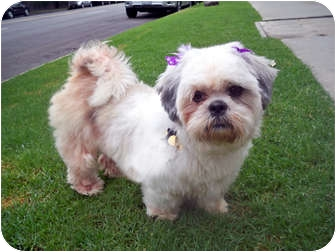 Lhasa Apso Dog for adoption in Los Angeles, California - NELLIE