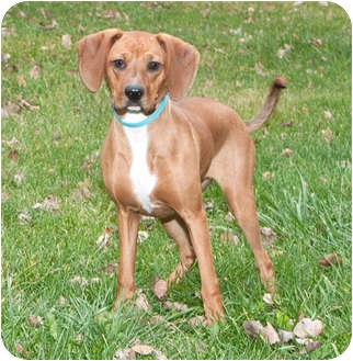 Vizsla Mix Dog for adoption in Howell, Michigan - Ruby