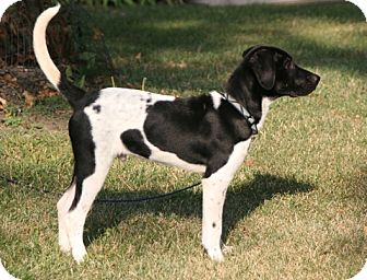 Labrador Retriever/German Shorthaired Pointer Mix Puppy for adoption in Wood Dale, Illinois - Dillon Delaney