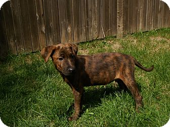 Mountain Cur Mix Puppy for adoption in Plainfield, Illinois - Asher