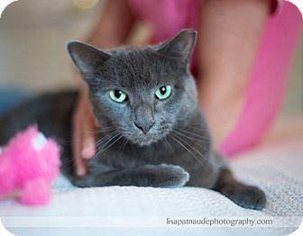 Russian Blue Cat for adoption in Worcester, Massachusetts - Huggy Bear