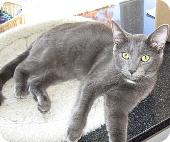 Domestic Shorthair Kitten for adoption in Jeffersonville, Indiana - Shadow