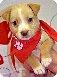 Terrier (Unknown Type, Medium)/Boxer Mix Puppy for adoption in Spruce Pine, North Carolina - Tango