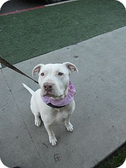 American Staffordshire Terrier/American Bulldog Mix Dog for adoption in Studio City, California - HONEY BEAR