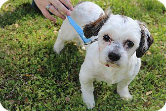 Shih Tzu Puppy for adoption in Hamburg, Pennsylvania - Bolt