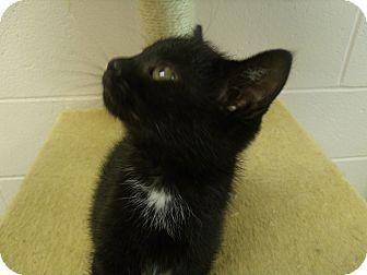Domestic Mediumhair Kitten for adoption in Gadsden, Alabama - Shadow