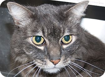 Domestic Longhair Cat for adoption in El Cajon, California - Brandy