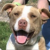 Staffordshire Bull Terrier/Boxer Mix Dog for adoption in Tyler, Texas - AA-Baker