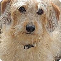 Adopt A Pet :: Lucy - La Habra Heights, CA