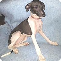 Adopt A Pet :: Female Puppy - Croton, NY