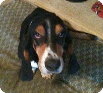 Basset Hound Dog for adoption in Grapevine, Texas - Gus