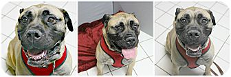 Mastiff Mix Dog for adoption in Forked River, New Jersey - Diamond