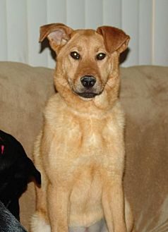Chow Chow/Shar Pei Mix Dog for adoption in Rockaway, New Jersey - Chloe Barnwell