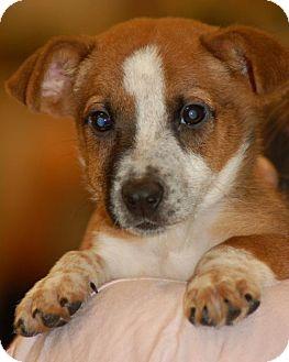 Corgi/Welsh Corgi Mix Puppy for adoption in Phoenix, Arizona - Patrick