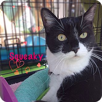 Domestic Shorthair Cat for adoption in Foothill Ranch, California - Squeaky