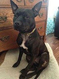 American Pit Bull Terrier Mix Dog for adoption in Fredericksburg, Virginia - Braveheart- Smiles Forever Rescue