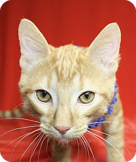 Domestic Shorthair Cat for adoption in Jackson, Michigan - RJ