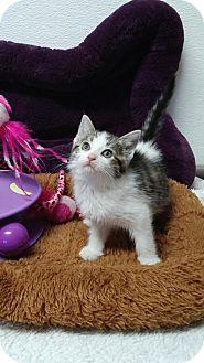 Domestic Shorthair Kitten for adoption in China, Michigan - Blizzard