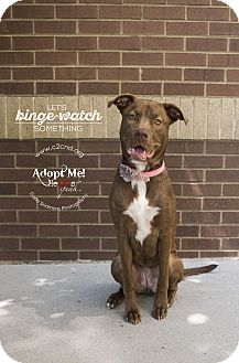 Labrador Retriever/Pit Bull Terrier Mix Dog for adoption in Charlotte, North Carolina - Violet