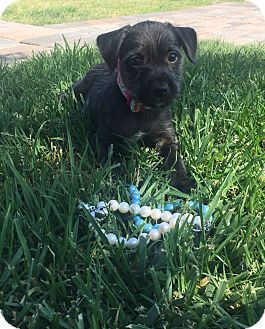 Terrier (Unknown Type, Small) Mix Puppy for adoption in Montclair, California - Diana