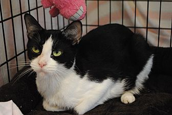 Domestic Shorthair Cat for adoption in Lafayette, New Jersey - Piper