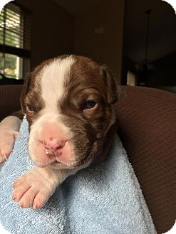 Boxer/Pointer Mix Puppy for adoption in Huntley, Illinois - Mater