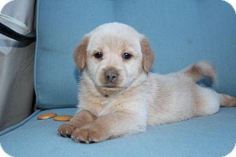 Labrador Retriever/Collie Mix Puppy for adoption in Florence, Kentucky - Nilla