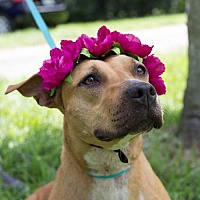 Adopt A Pet :: Lidia - Davie, FL