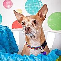 Chihuahua Dog for adoption in Elizabethtown, Pennsylvania - Simon