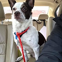 Adopt A Pet :: Duke - Rising Sun, MD
