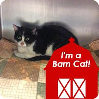 Domestic Shorthair Cat for adoption in Janesville, Wisconsin - Kalamazoo