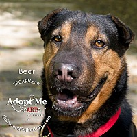 Adopt A Pet :: Bear - Victoria, BC