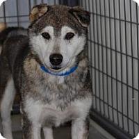 Husky Dog for adoption in Colorado Springs, Colorado - Adam