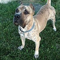 Presa Canario Dog for adoption in holton, Kansas - Romeo