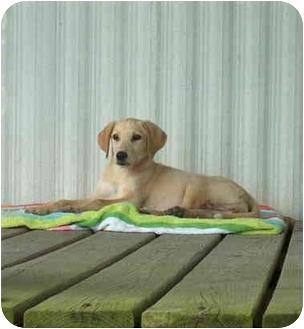 Labrador Retriever Mix Puppy for adoption in Plaquemine, Louisiana - Marley (Labby)