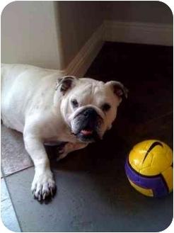 English Bulldog Dog for adoption in San Diego, California - Duchess