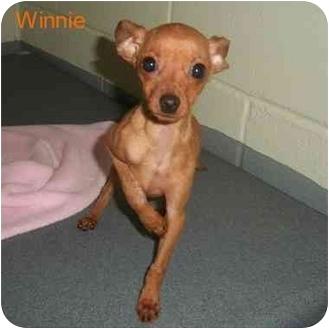 Miniature Pinscher Mix Dog for adoption in Slidell, Louisiana - Minnie