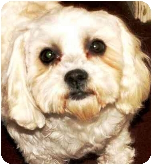 Lhasa Apso Dog for adoption in Winnetka, California - Kailey