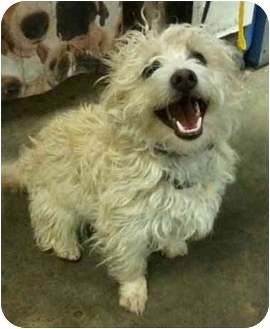 Westie, West Highland White Terrier/Poodle (Miniature) Mix Dog for adoption in Auburn, California - Jerry