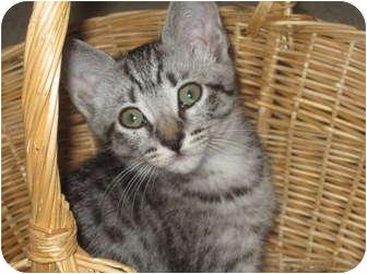 Domestic Shorthair Kitten for adoption in Modesto, California - Katie