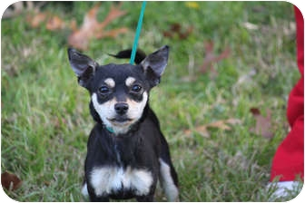 Chihuahua Mix Dog for adoption in McKinney, Texas - Tanom