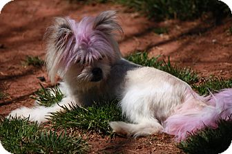 Yorkie, Yorkshire Terrier/Chinese Crested Mix Dog for adoption in Prince William County, Virginia - bleeker