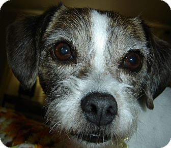 Shih Tzu Mix Dog for adoption in Coldwater, Michigan - Sam