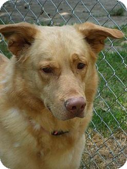 Golden Retriever Mix Dog for adoption in Bay City, Michigan - Java
