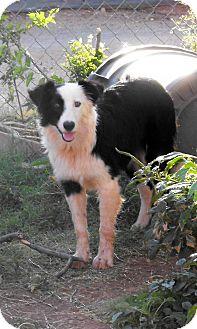Australian Shepherd Puppy for adoption in Abilene, Texas - Bandit
