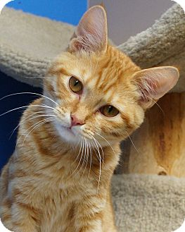 Domestic Shorthair Kitten for adoption in Naperville, Illinois - Andy