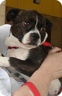 Boston Terrier/Chihuahua Mix Dog for adoption in Greensboro, North Carolina - Missy